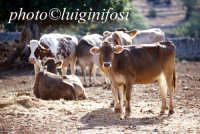 mucche al pascolo nelle campagne di modica  - Modica (3875 clic)