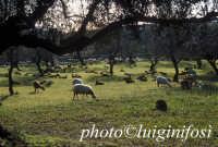 pecore al pascolo nelle campagne di scicli SCICLI Luigi Nifosì