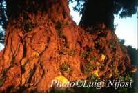 carrubo al tramonto  - Sampieri (5235 clic)