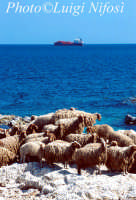 le pecore dell'isola di Tapsos  - Thapsos (6590 clic)