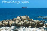 le pecore dell'isola di Tapsos  - Thapsos (6671 clic)