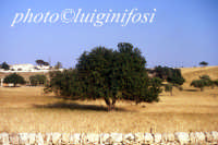 carrubo e paesaggio ibleo  - Ragusa (2226 clic)