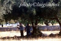 raccolta delle carrube nella campagna iblea  - Ragusa (1966 clic)