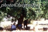 raccolta delle carrube nella campagna iblea RAGUSA Luigi Nifosì