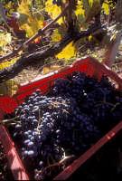 nero d'avola vendemmia 2005    - Pedalino (2794 clic)