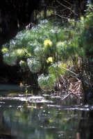 papiri sul fiume ciane  - Siracusa (3630 clic)