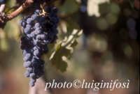 nero d'avola, vendemmia 2005    - Pedalino (2481 clic)