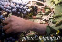 vendemmia 2005   - Pedalino (2301 clic)