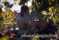 vendemmia 2005   - Pedalino (2366 clic)