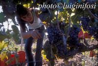 vendemmia 2005   - Pedalino (2741 clic)