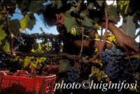 vendemmia 2005   - Pedalino (2363 clic)