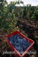 nero d'avola, vendemmia 2005   - Pedalino (2398 clic)