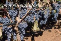 nero d'avola  - Pedalino (3871 clic)