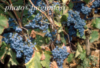 nero d'avola  - Pedalino (4300 clic)