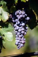 frappato coltivato nelle vigne del ragusano  - Acate (4155 clic)