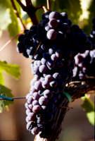 frappato coltivato nelle vigne del ragusano  - Acate (4197 clic)