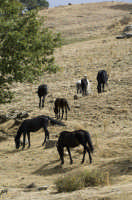 cavalli allo stato brado sui nebrodi  - Nebrodi (4235 clic)