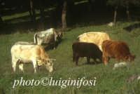 mucche sull'altipiano ibleo  - Buccheri (9185 clic)