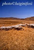 pascolo nelle campagne di cammarata  - Cammarata (5159 clic)