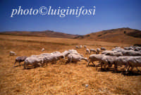 pecore al pascolo nelle campagne di cammarata  - Cammarata (6425 clic)