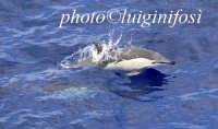 delfini nel canale di sicilia  - Pantelleria (4329 clic)