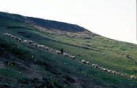 pecore al pascolo  - Agrigento (4500 clic)