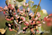pistacchi di bronte  - Bronte (2746 clic)