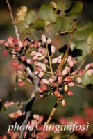 pistacchi di bronte  - Bronte (2954 clic)