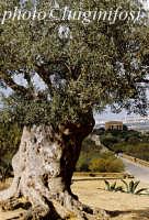 ulivo nella valle dei templi  - Agrigento (1993 clic)
