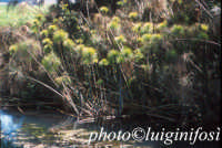 i papiri sul fiume ciane  - Siracusa (1995 clic)
