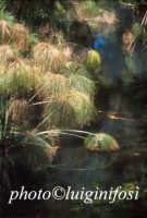 papiri sul fiume ciane  - Siracusa (2129 clic)