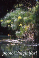 papiri sul fiume ciane  - Siracusa (1976 clic)
