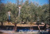 raccolta delle olive  - Scicli (6128 clic)