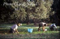 raccolta delle olive  - Scicli (6299 clic)
