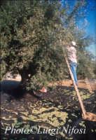 raccolta delle olive  - Scicli (6259 clic)