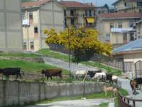 Transumanza di mucche e alberi di mimose.  - Nebrodi (7616 clic)