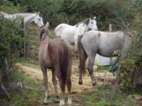 Gruppo cavalli alla campìa.  - Mistretta (3445 clic)