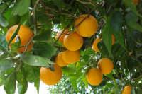 Ramo di arance  - Nebrodi (4754 clic)
