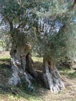 Flora mediterranea, ulivo corifeo.  - Mistretta (2773 clic)