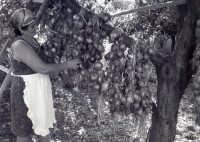 Cipolle di Simone Longo  - Acquedolci (6815 clic)