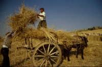mietitura a mano: si caricano le fascelle di grano sul carro  - Raddusa (9886 clic)