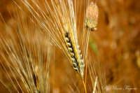 Spiga di grano  - Agira (1926 clic)