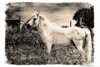 White horse (382 clic)