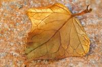 Leaf (363 clic)