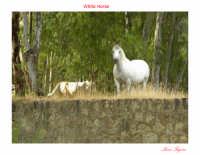 Cavallo bianco allo stato puro incuriosito dalla presenza dell'uomo.  - Lago di pozzillo (7147 clic)