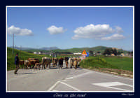 Cows on the road  - Assoro (3623 clic)