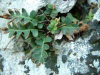 Cava Ispica - flora  - Ispica (2339 clic)