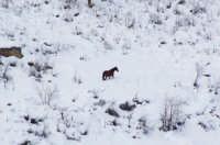 Cavallo nella neve  - Mistretta (7391 clic)