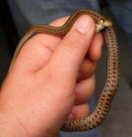un serpente di nome Francisco è un cervone (liberato subito dopo la foto)   - Ficuzza (17613 clic)