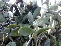 selva di opuntia vulgaris varietas ficus indica  - Caltagirone (1876 clic)
